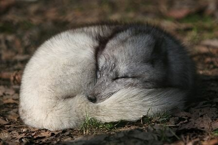 Facts about Arctic fox - Sleeping with its tail as blanket