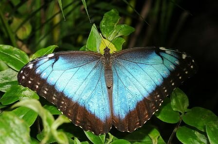 Facts about the Blue Morpho butterfly - Blue Morpho butterfly