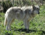 10 Interesting Facts about the Gray Wolf