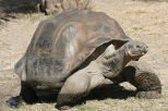 10 Interesting Facts about The Galapagos Tortoise