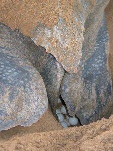 Facts 10 Leatherback Sea Turtle Save Eggs