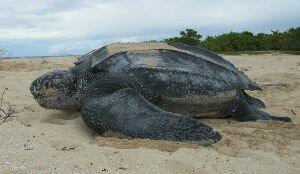 Facts 2 Leatherback Sea Turtle