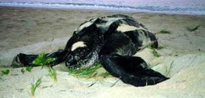 Facts 8 Dermochelys coriacea at Beach