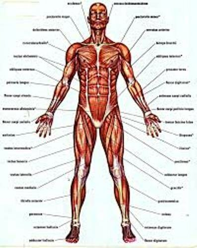 Facts about the Muscles
