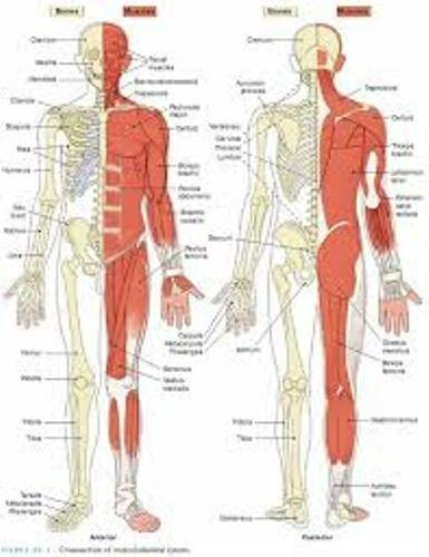 Facts about the Musculoskeletal System