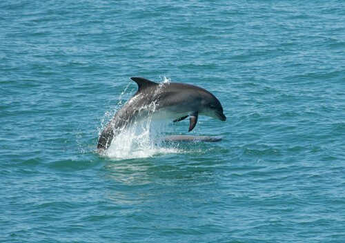 Dolphin facts: Dolphin and its brain