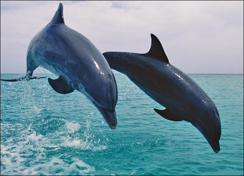 Dolphin facts: Dolphin and its natural predator