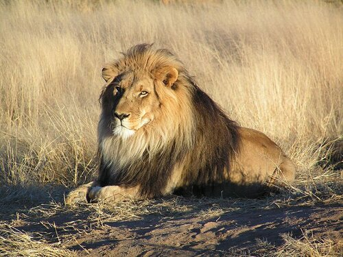 Lion facts: Lion and food consumption