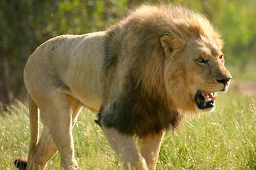 Lion facts: Lion mane