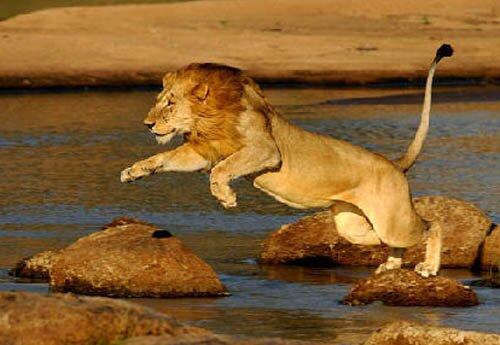 Lion facts: Male lion