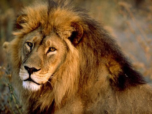 Lion facts: World Conservation Union
