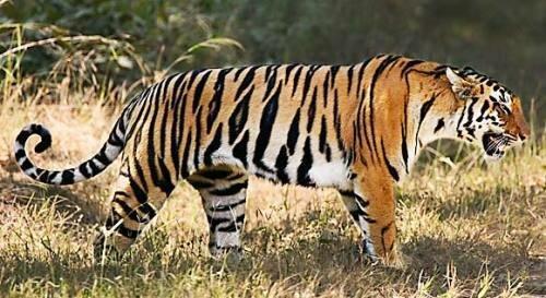 Tiger facts: Adult tiger
