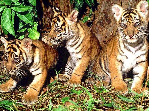 Tiger facts: Siberian tiger