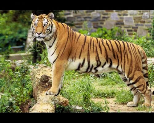 Tiger facts: Tiger and its eyes