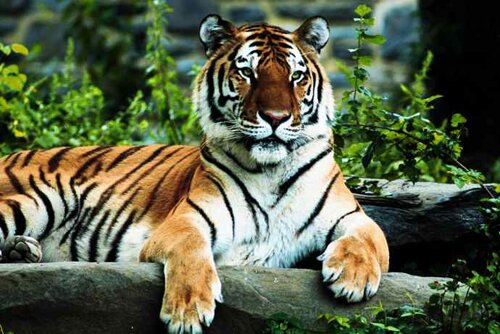 Tiger facts: Tiger and its size