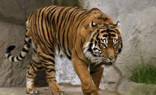 Tiger facts: Tiger and its vision