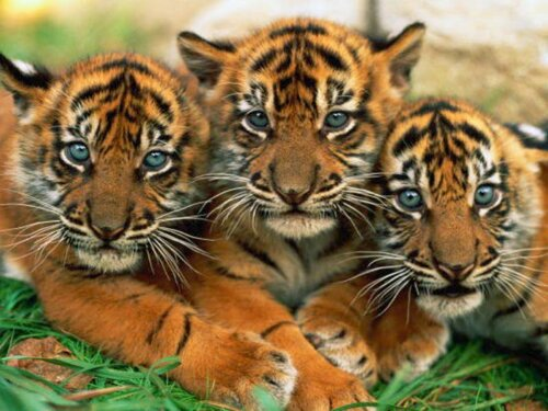Tiger facts: Young tigers