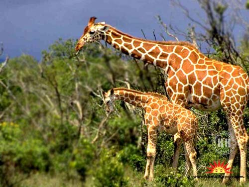 giraffe facts The longest animal