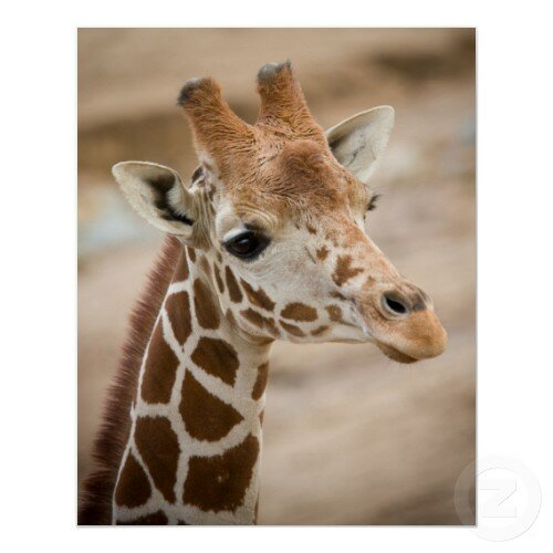 giraffe facts: vocal chord