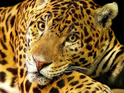 Amazon rainforest facts: Wild Animal
