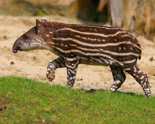 Amazon rainforest facts: tapir