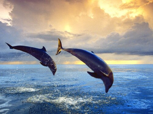 Bottlenose dolphin facts: Bottlenose Dolphins's leaping