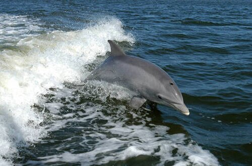 Bottlenose dolphin facts: Bottlenose dolphin on Sea