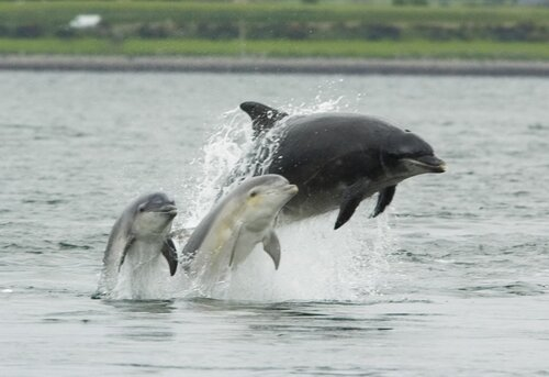Bottlenose dolphin facts: Bottlenose dolphin with calf