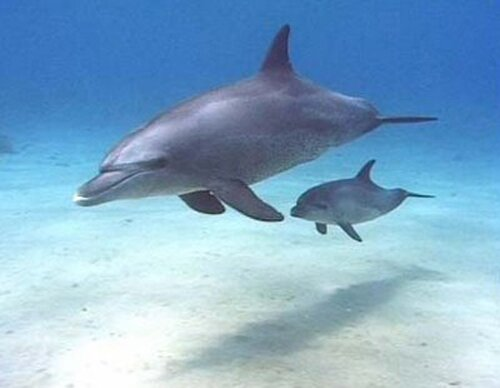 Bottlenose dolphin facts: baby bottlenose dolphin