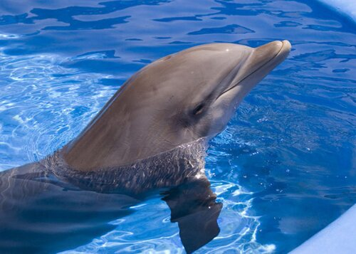 Bottlenose dolphin facts: bottlenose dolphin in a pool
