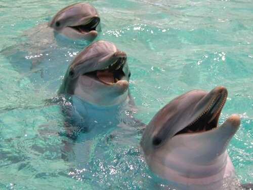 Bottlenose dolphin facts: smiling dolphin