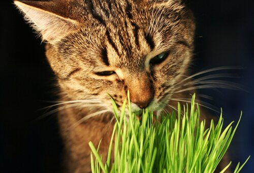 Cat facts: cat eating grass