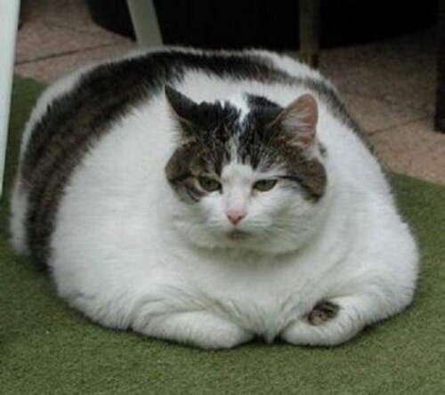 Cat facts: fat cat