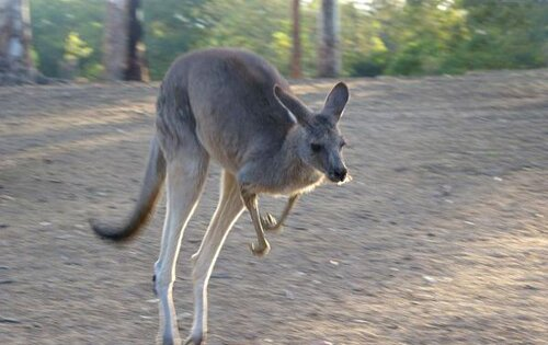 Kangaroo facts: eastern grey kangaroo