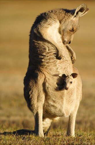 Kangaroo facts: kangaroo with baby