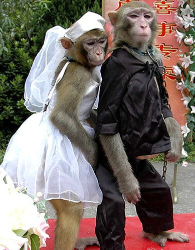 Monkey facts: wedding monkey