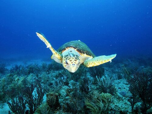 Sea turtle facts: loggerhead sea turtle