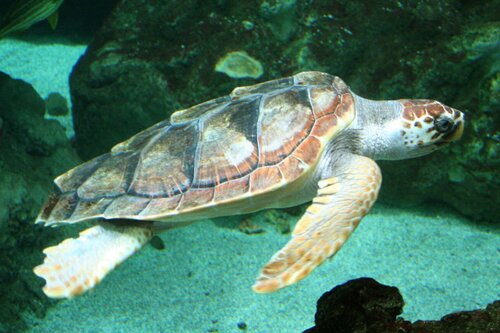 Sea turtle facts: underwater sea turtle