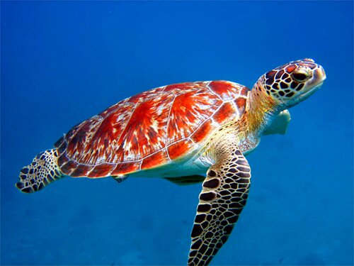 10 Interesting Sea turtle Facts