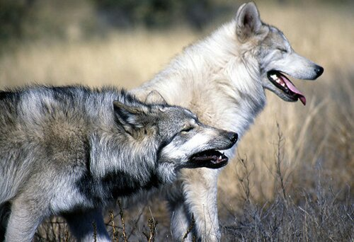 10 Interesting Wolf Facts