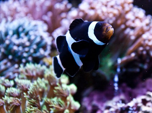Clown fish facts: Black and White clown fish
