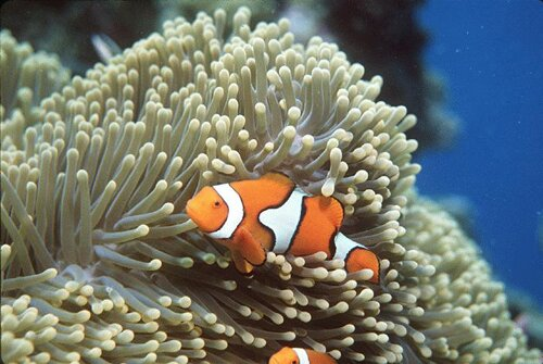 Clown fish facts: Clown Fish with Anemone