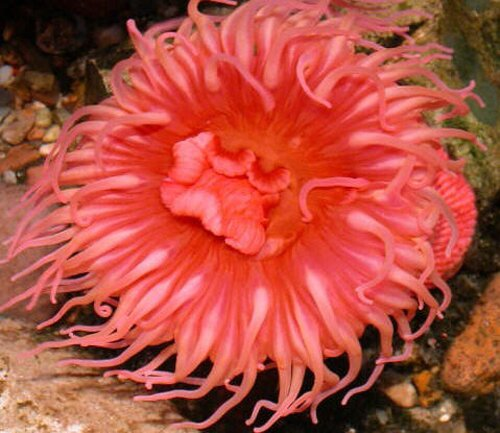 Clown fish facts: anemone