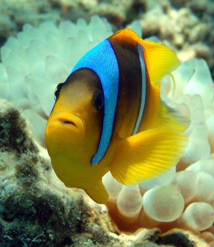 Clown fish facts: yellow clown fish