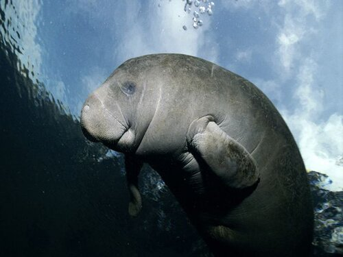 Manatee facts: body weight of manatee