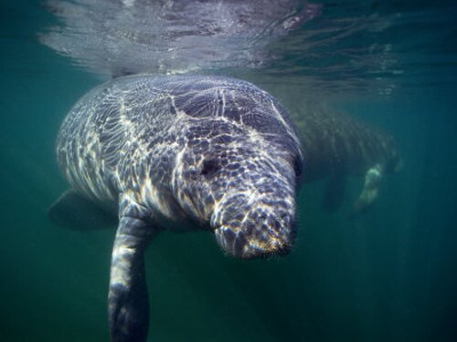 Manatee facts: swimming manatee