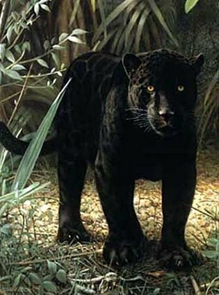 10 Interesting Facts about Panther