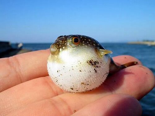 Puffer fish facts: baby puffer fish