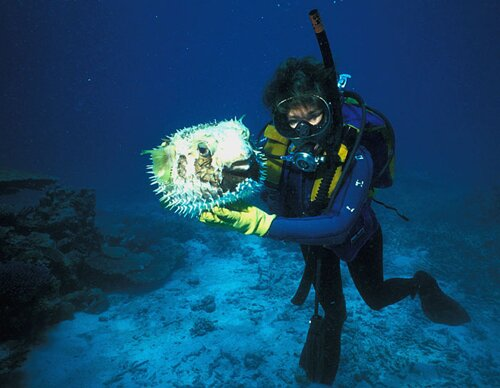 Puffer fish facts: diver and puffer fish