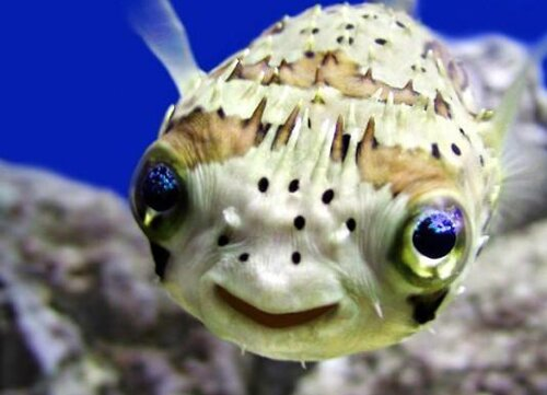 Puffer fish facts: porcupine fish puffer